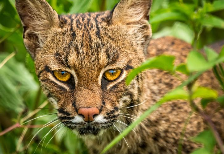 32383180_Lake-Louisa-State-Park_Celebrate-Nature_Curious-Bobcat_Ali_Nasser